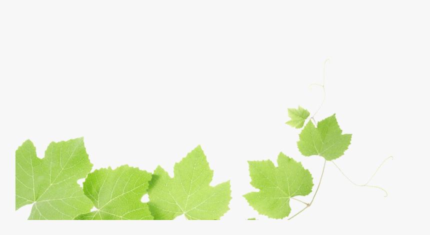 Grapes Leaves - Transparent Grape Leaf Png, Png Download, Free Download