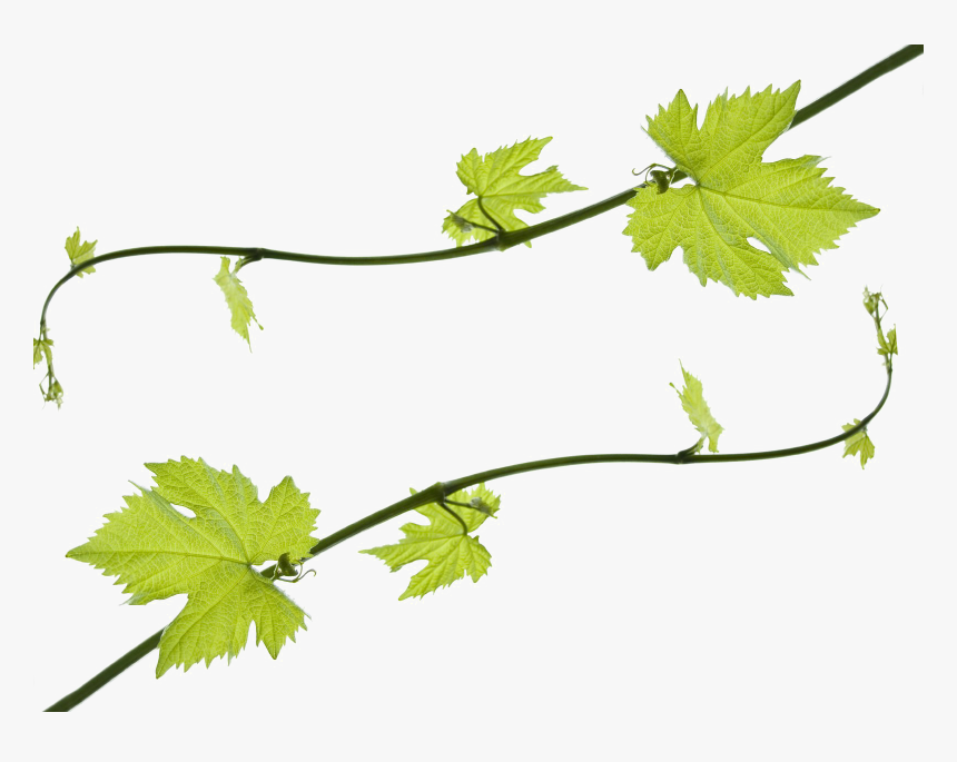 Transparent Grape Vine Png - Clip Art Grape Leaves, Png Download, Free Download