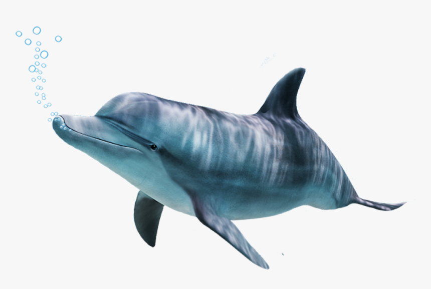 Bottlenose Dolphin,bottlenose Dolphin,marine Beaked - Dolphin, HD Png Download, Free Download