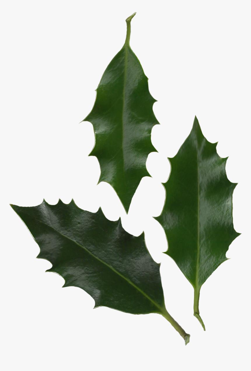 Holly Leaves Photo Transparent Png Image - Ilex Aquifolium Leaf Shape, Png Download, Free Download