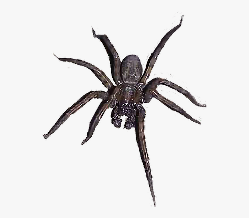 Transparent Wolf Spider Png - Wolf Spider, Png Download, Free Download