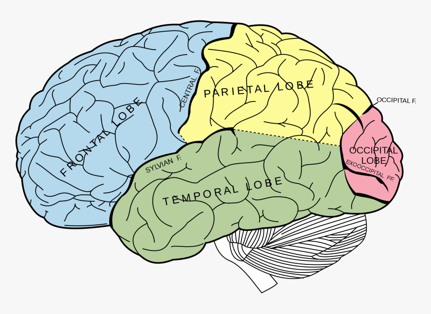 Lobes Of The Brain Unlabeled, HD Png Download, Free Download