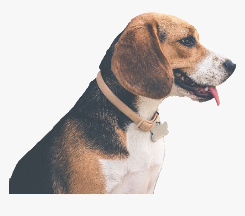 Beagle-harrier, HD Png Download, Free Download