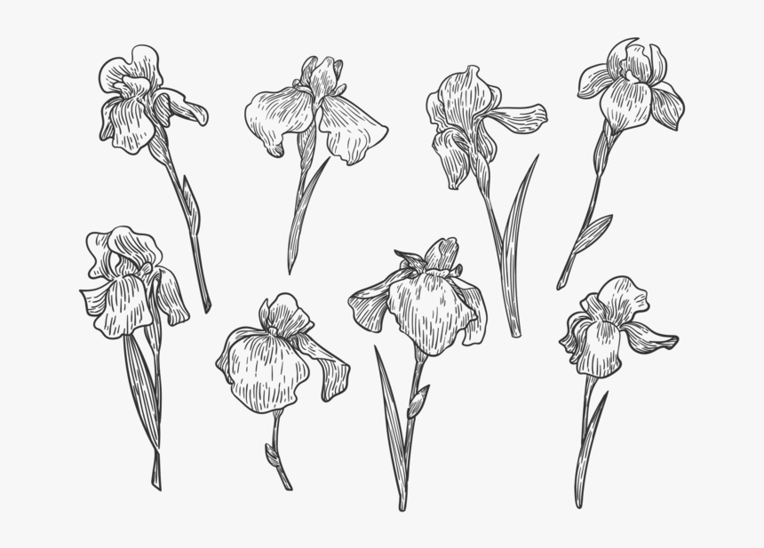 Free Hand Drawn Flor Del Diafragma Vectores - Iris Flower Free Vector, HD Png Download, Free Download