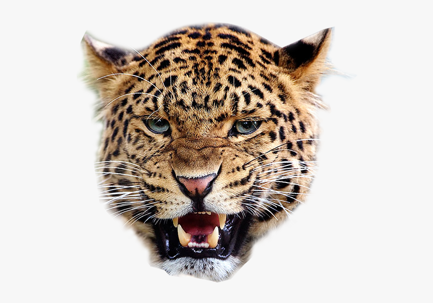 Angry Leopard Transparent Image Animal Graphic, HD Png Download, Free Download