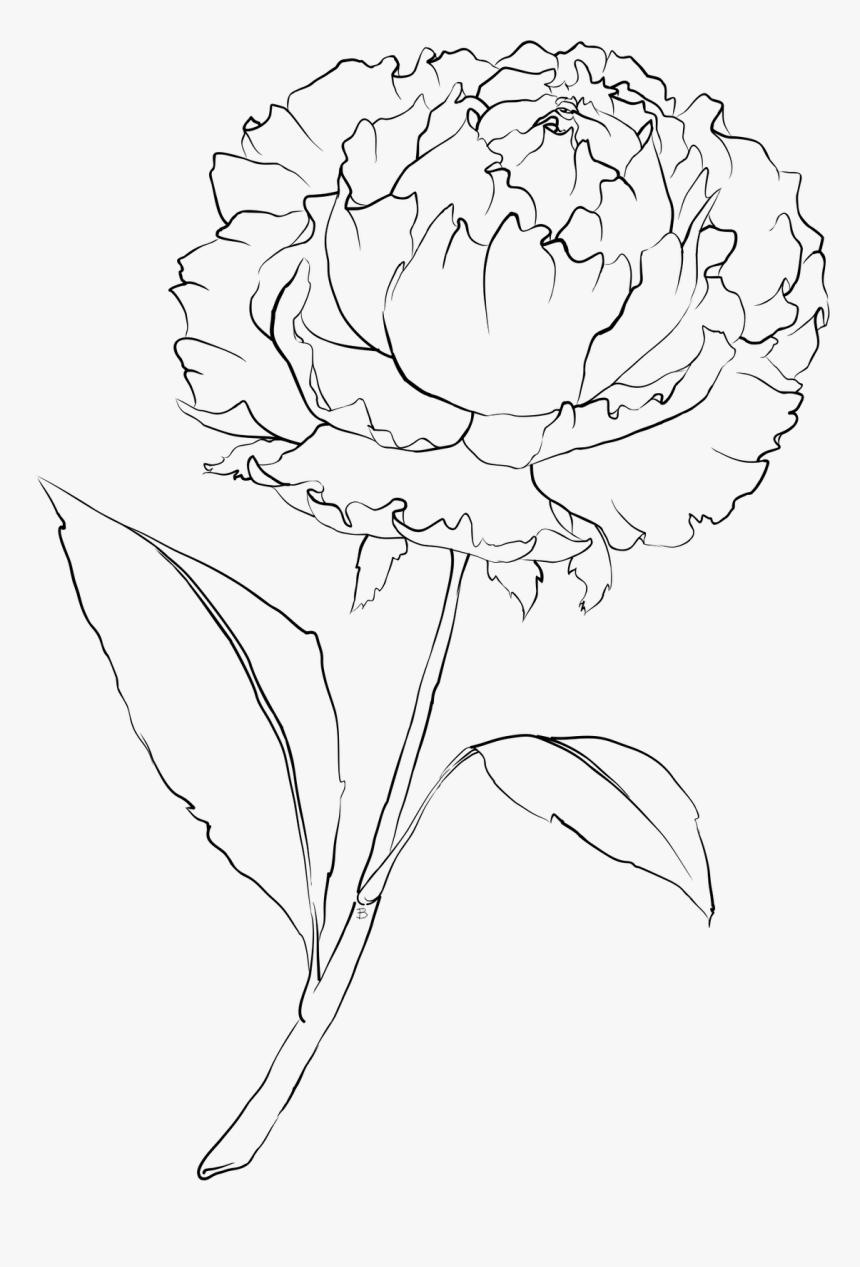 Petals Drawing Carnation ~ Frames ~ Illustrations ~ - White Carnation Flower Drawing, HD Png Download, Free Download