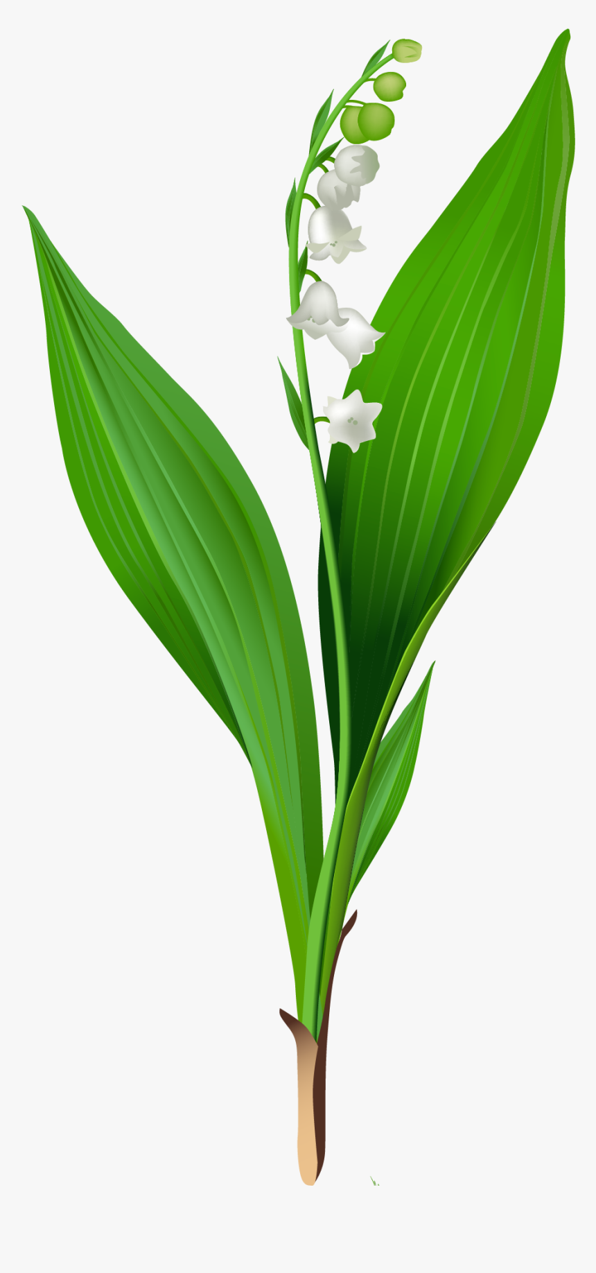Lily Of The Valley Png, Transparent Png, Free Download