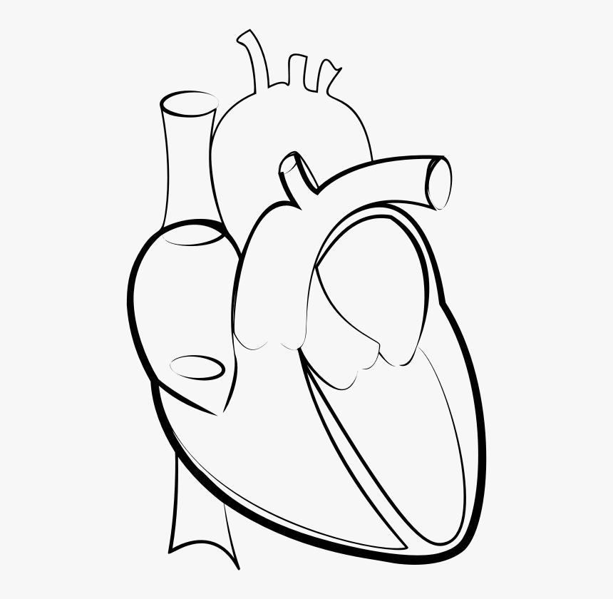 Drawing Line Art Heart Hartlijn - Outline Pictures Of Human Heart, HD Png Download, Free Download
