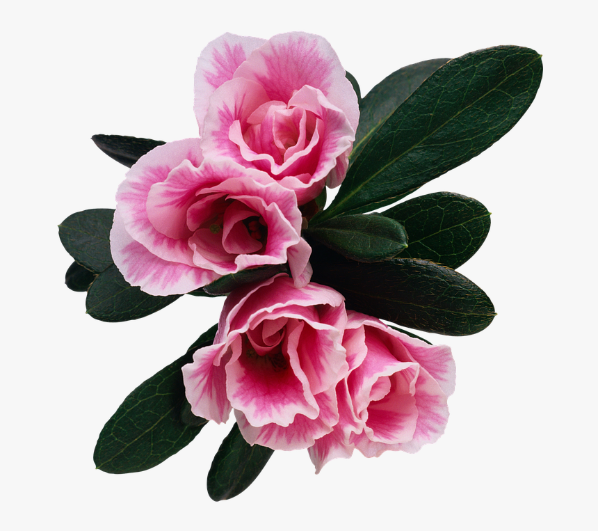 Flower, Floral, Rosebush, Petal, Plant - Bonne Fete Papa De Ta Fille, HD Png Download, Free Download